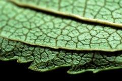 非常一片绿色叶子的极端特写镜头 库存图片