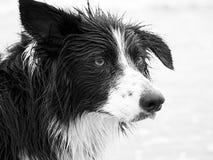 非常不看起来湿的博德牧羊犬愉快 免版税库存照片
