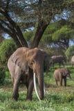 非常与长的象牙的大大象 肯尼亚,非洲 库存图片