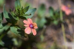 非常与雄芯花蕊的小桃红色花10mm 库存照片