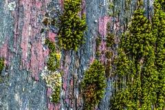 非常与青苔和镇压的老被风化的土气木纹理在t 免版税库存照片