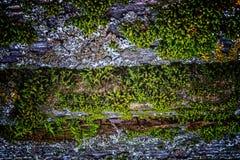 非常与青苔和镇压的老被风化的土气木纹理在t 库存照片