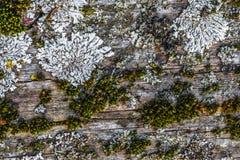 非常与青苔和镇压的老被风化的土气木纹理在t 图库摄影