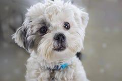 非常与黑发的逗人喜爱的蓬松白色狗特写镜头在看一只的眼睛附近,如他要被宠爱 图库摄影