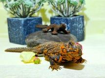 非常友好和好奇蜥蜴 库存照片