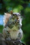 非常吃坚果的饥饿的灰鼠 库存照片