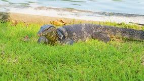 非常囚禁大蜥蜴爬行动物 免版税图库摄影