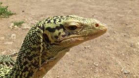 非常囚禁大蜥蜴爬行动物 库存图片