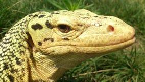 非常囚禁大蜥蜴爬行动物 免版税库存照片