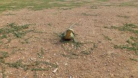 非常囚禁大蜥蜴爬行动物 图库摄影
