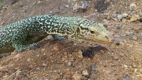 非常囚禁大蜥蜴爬行动物 免版税库存图片