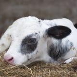 非常在谷仓秸杆的幼小黑白小牛  免版税库存照片