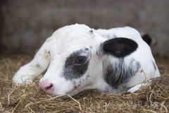 非常在谷仓秸杆的幼小黑白小牛  库存图片