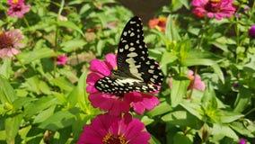 非常在Sri lanaka的美丽的蝴蝶 图库摄影