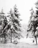 非常多雪的冬天天气 在的云杉的针叶树立场 免版税库存照片