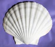 非常大从马西拉岛,阿曼,印度洋的`巨大扇贝`壳 免版税图库摄影