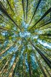 非常大和高大的树木风景看法在森林里早晨,查寻 免版税库存照片