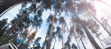 非常大和高大的树木风景看法在森林里 库存图片