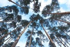非常大和高大的树木风景看法在森林里 免版税图库摄影