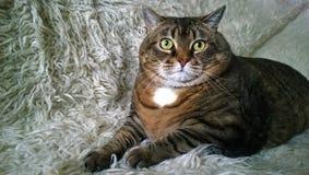 非常大家庭猫说谎 库存照片