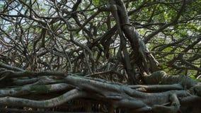 非常大榕树在密林 生物演化谱系图解,令人惊讶的Banya 免版税库存照片