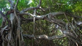 非常大榕树在密林 生物演化谱系图解 免版税库存图片