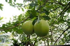 非常好大绿色金瓜的神色 免版税库存图片