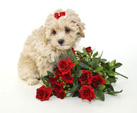 非常小狗甜点 免版税库存图片