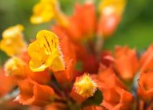 非常小黄色和红色花在宏指令的一个庭院里 库存照片