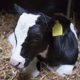 非常幼小黑白小牛在秸杆在 免版税库存照片
