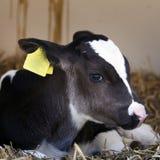 非常幼小黑白小牛在秸杆在 库存图片