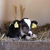 非常幼小黑白小牛在秸杆在 免版税库存图片