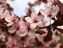 非常开花的苹果分支 库存照片