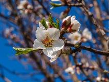 非常开花的苹果树 库存图片