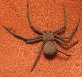 非常快速和蠕动的六目的沙子蜘蛛Sicarius sp 免版税库存照片