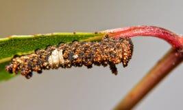 非常总督蝴蝶毛虫七高八低和多刺,棕色和白色第3 instar  库存照片