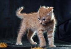 非常恼怒的姜小猫老虎 免版税图库摄影