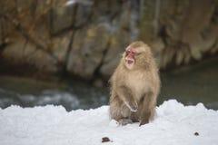非常恼怒的野生雪猴子 免版税库存照片