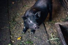 非常懒惰,逗人喜爱和美好的泰国样式越南大腹便便的人小猪,居住在农场的动物 说谎黑有脚的利比亚的猪  库存照片