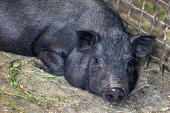 非常懒惰,逗人喜爱和美好的泰国样式越南大腹便便的人小猪,居住在农场的动物 说谎黑有脚的利比亚的猪  库存图片