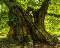 非常椴树的老词根 库存照片