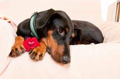 非常浪漫狗和花 图库摄影