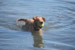 非常湿与球的新斯科舍鸭子敲的猎犬 图库摄影