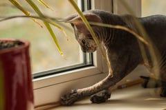 非常滑稽的秃头猫狮身人面象在与绿色叶子的窗口附近使用 免版税库存图片