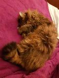 非常甜的猫 库存照片