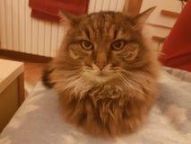 非常甜的猫 免版税库存图片