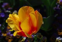 非常相当黄色和红色郁金香花开花 库存图片