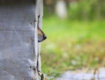 非常突出他的鼻子和偷看的逗人喜爱哀伤小狗滑稽在他的b外面 免版税库存照片