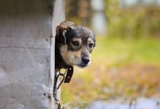 非常突出他的鼻子和偷看的逗人喜爱小狗滑稽在他的起动外面 图库摄影