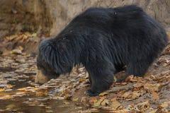 非常罕见的印度的一种长毛熊男性查寻白蚁在印地安森林里 免版税库存图片